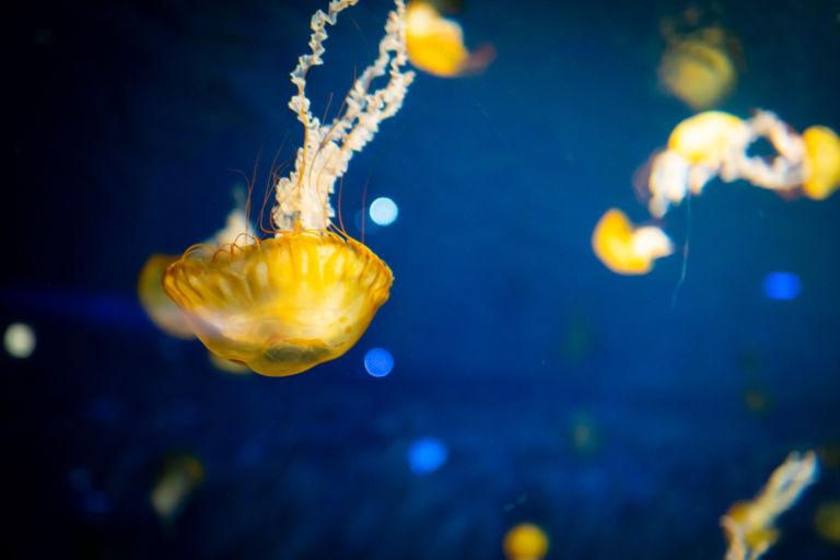 jellyfish2