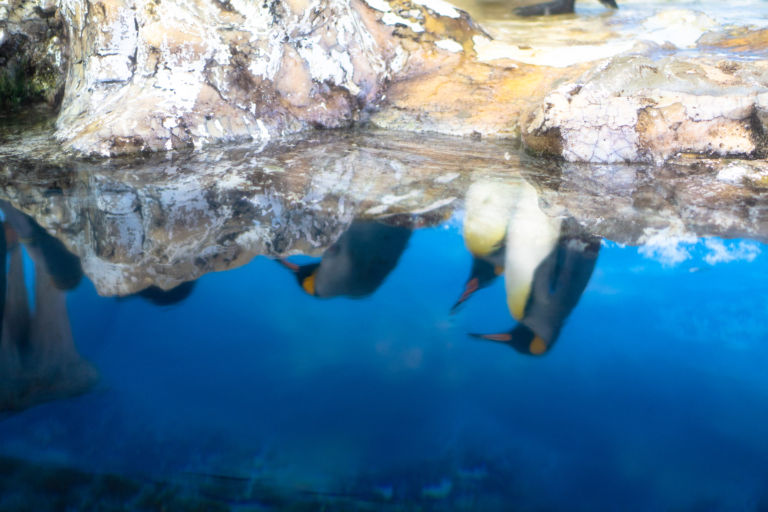 Penguin Reflection
