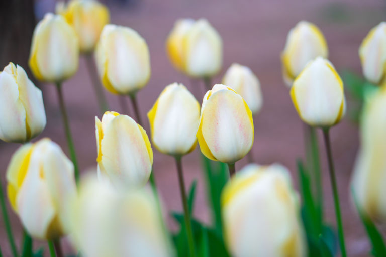 Tulips (Vanilla Cream)
